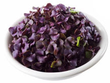 Basil (Purple)