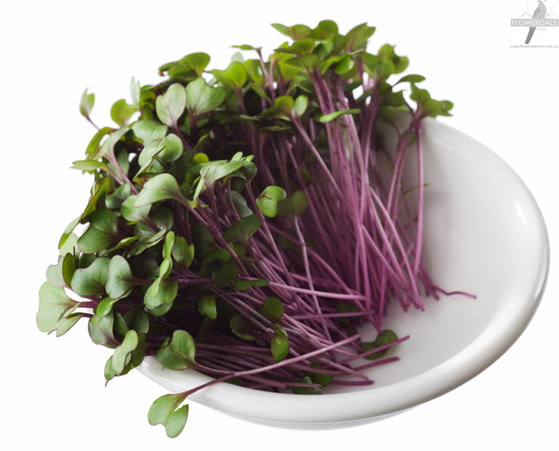 Microgreen red cabbage